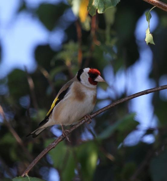 A little Goldfinch by SueSelley