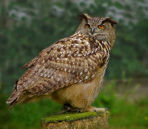 Eagle Owl by sparrowhawk