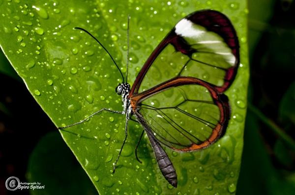 Glasswing Butterfly by SpiroSpiteri