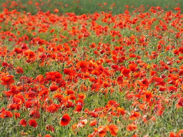 Poppy Field by joshwa