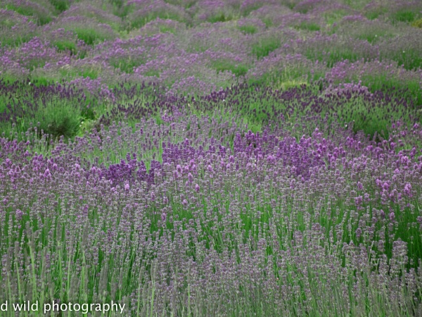 sea of lavender by wildchef