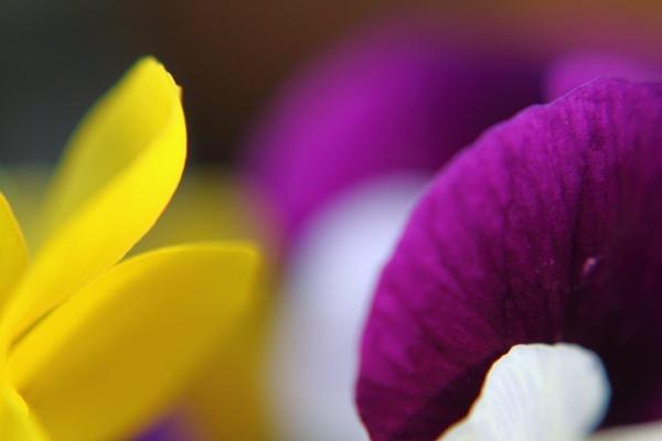Yellow or Purple, you choose by Premnay_Matt