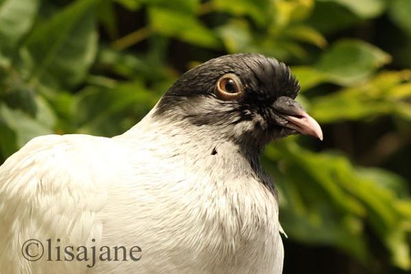 Pigeon by lisajane1970