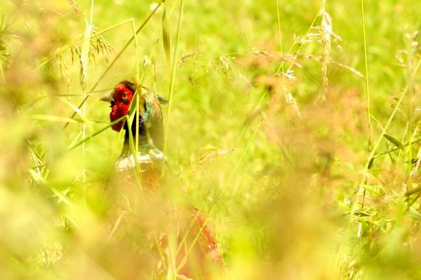 Cock Pheasant by lisajane1970