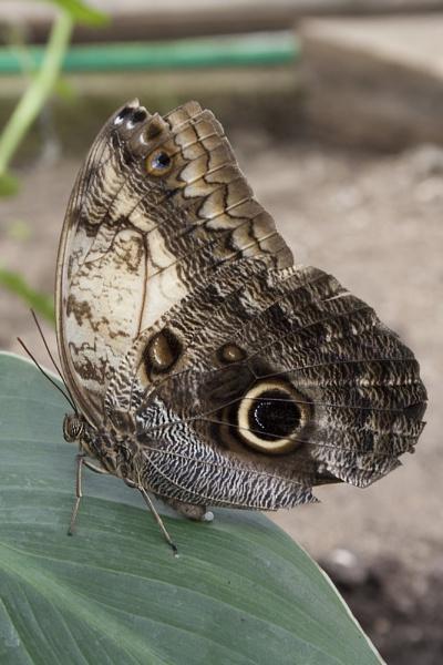 Owl Butterfly (Caligo Memnon) by Richard_Prior