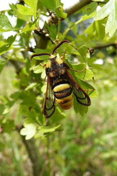 Hornet Moth....1 by Richard_Prior