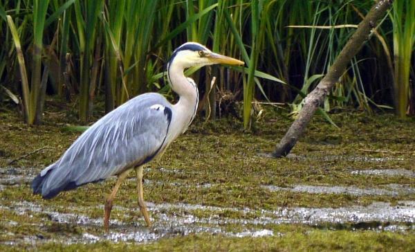 Heron at the Deer Pond by heron