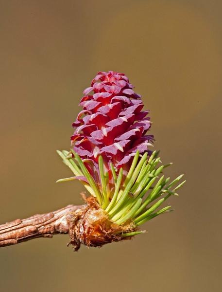 Pine bud by trevsmith00