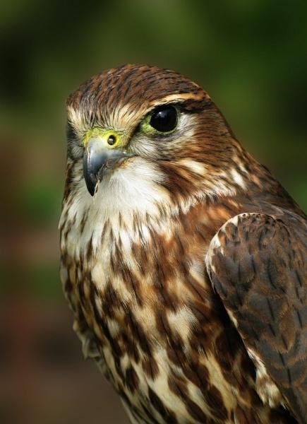 Falcon Portrait by elliot