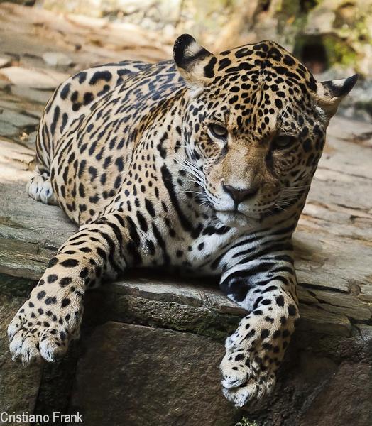 Jaguar by Frankphoto
