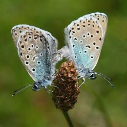 Elusive Large Blues Mating