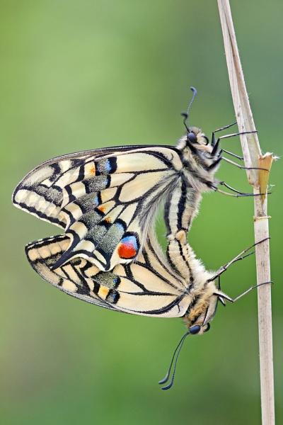 Swallowtails by Julian