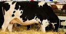 Holstein by JJGEE