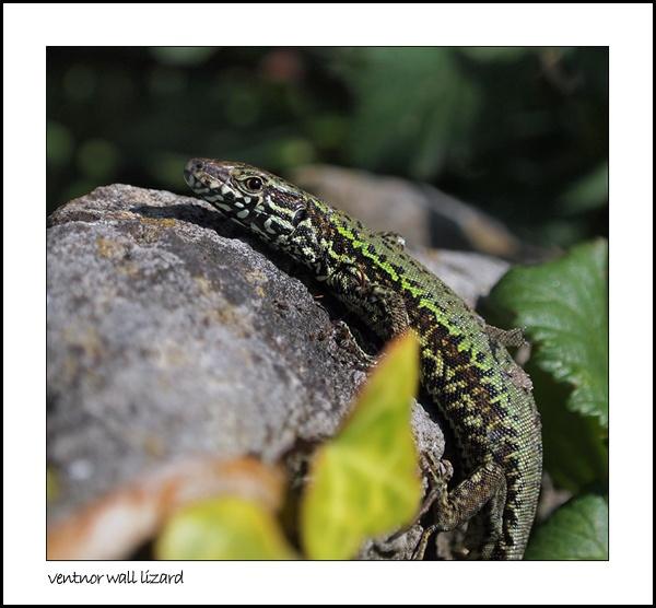 Ventnor Wall Lizard by timsmith
