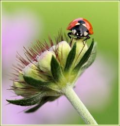 Ladybird on Scabious.