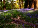 Bluebell Wood by Pegon