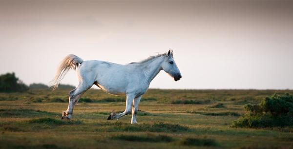 Grey Stallion by Paintman