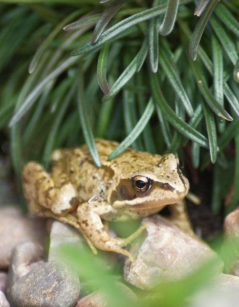 Frog by StephenDM
