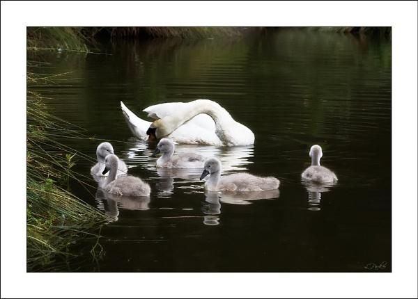Swan & Cygnets by skye1