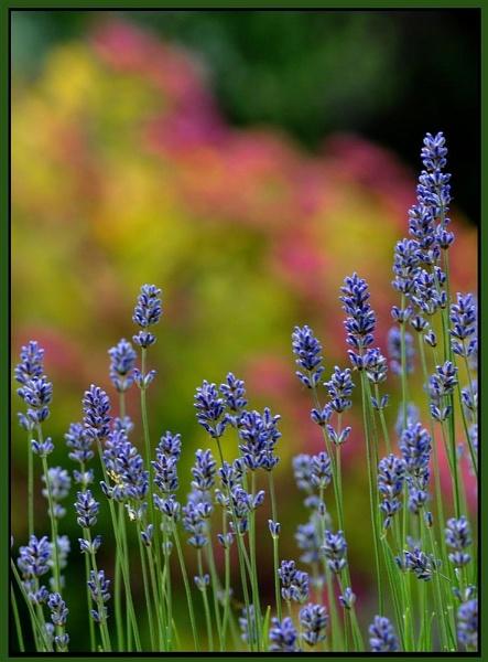 Colour through lavender by dnwilliams