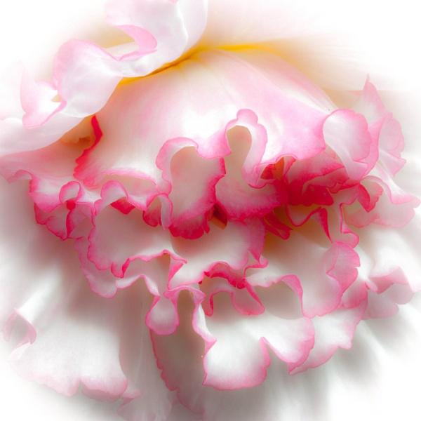 Begonia by allan47