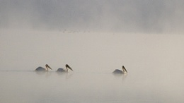 White pelicans on Lake nakuru