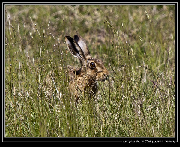 Hares, Sedge Warblers and Whitethroat by Ray42