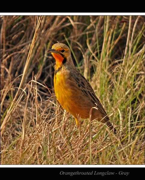 Orangethroated Longclaw by Gray_ina