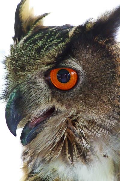 Eagle Owl by PhotoMorph
