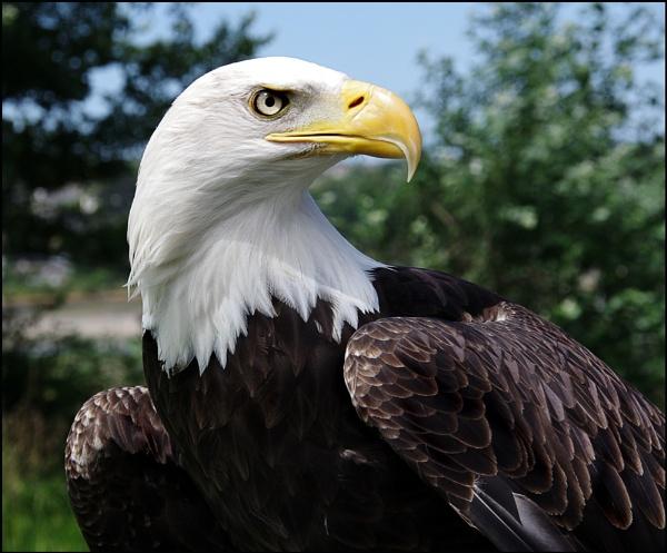 Bald Eagle  aka Archie by nikshot