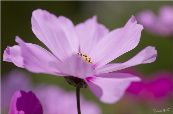 Cosmos by AshTree