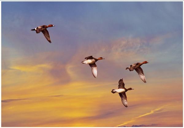 Flight by accipiter