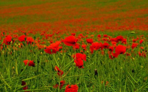 Poppy field by Gordonsimpson