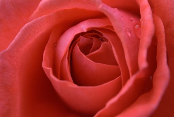 Rose by bigwulliemc