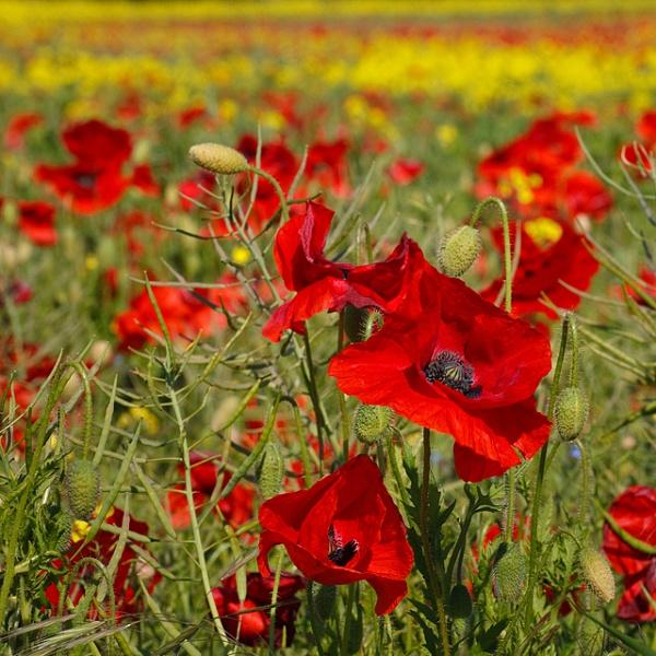 Poppy field by paul_indigo