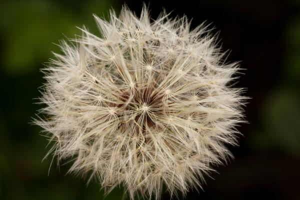 Dandelion by Lakeyw