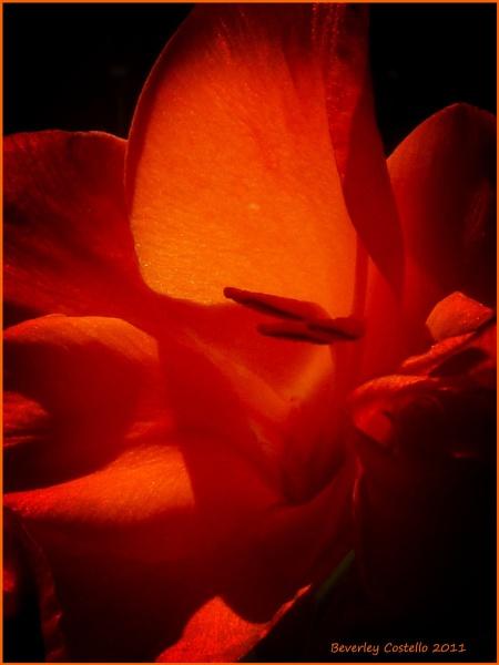 gladiola by Beverleycole