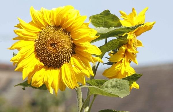 Sunflower by shuto