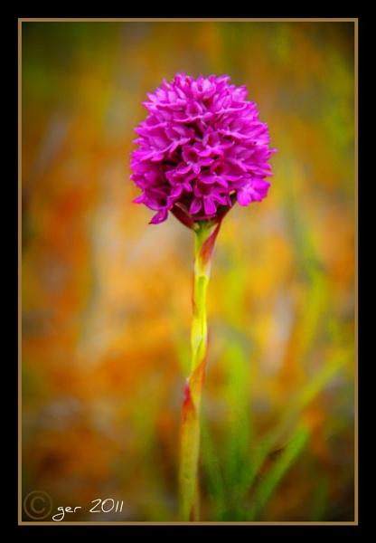 pyramidal orchid {magairlin na stuaice} by yaco