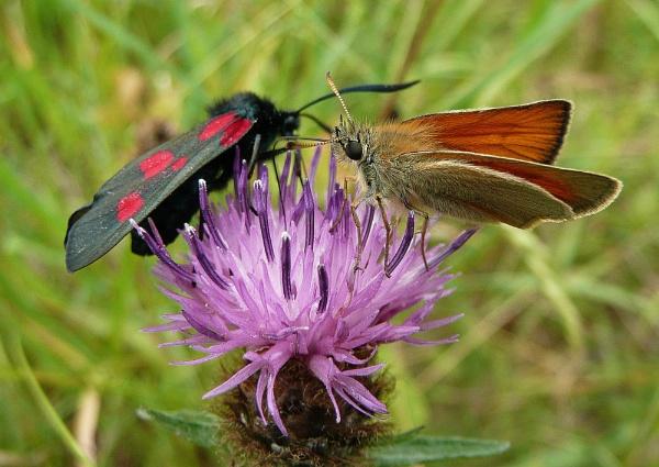 Small Skipper + Six Spot Burnet Moth by Richard_Prior
