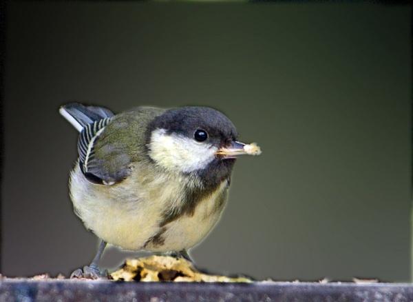 Tit at Springwood by heron