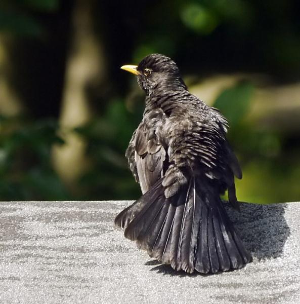 Blackbird by heron