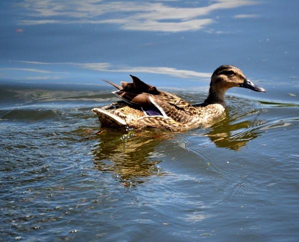 Giant swimmy duck by cheekyamyleigh