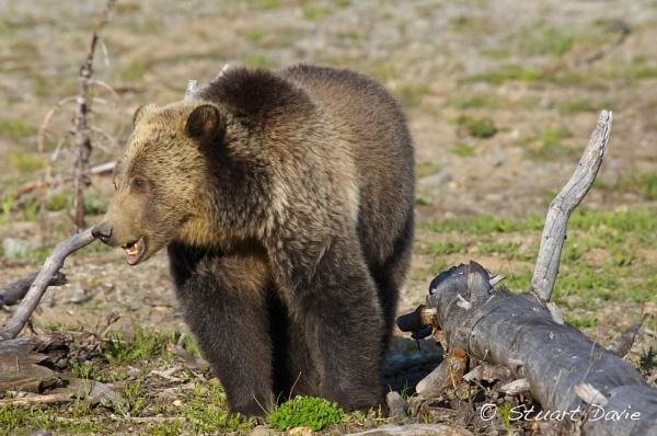Grizzly in Yellowstone by StuartDavie