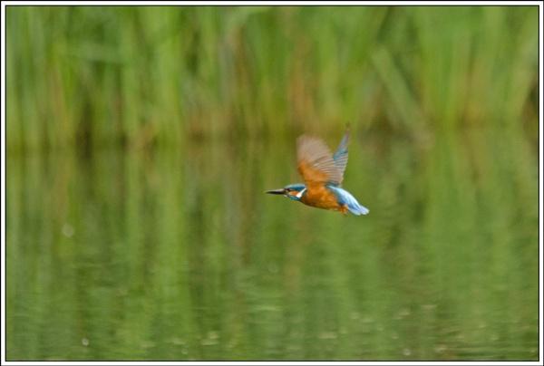 Kingfisher in flight by wizardsmagic