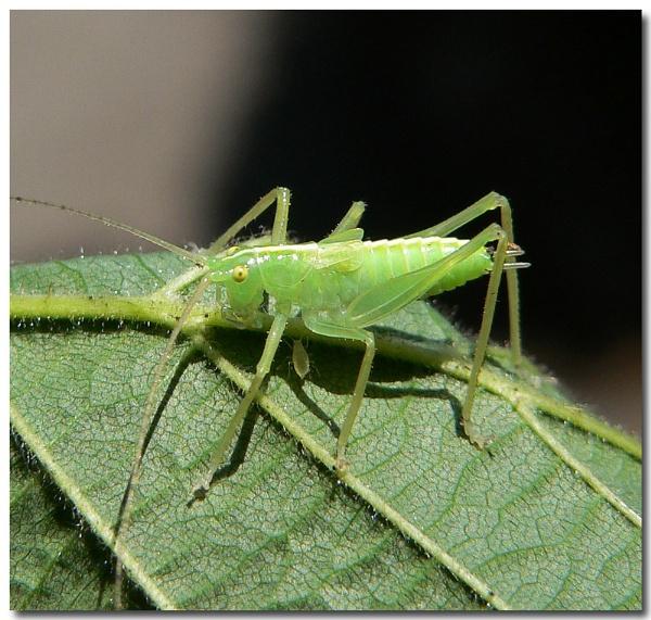oak bush cricket and friend by bunbeam