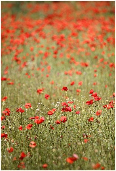 The Poppy Field by Alan_Coles