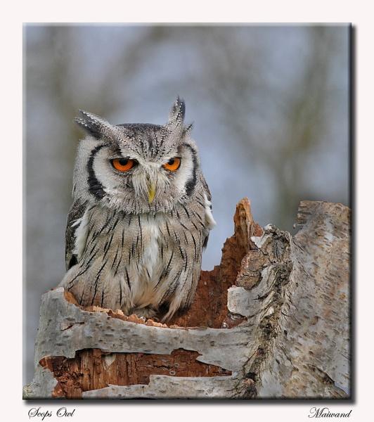Scops Owl by Maiwand