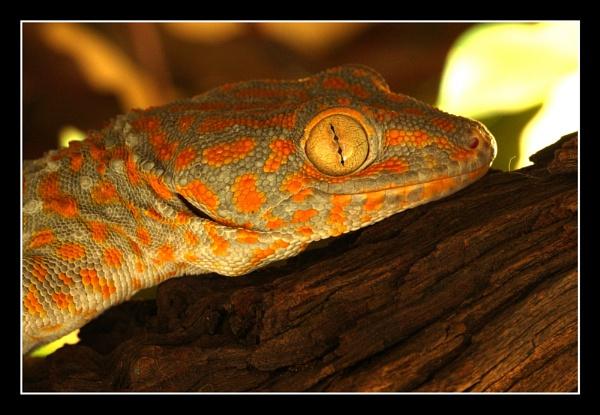 Smiling Tokay Gecko by rowejay