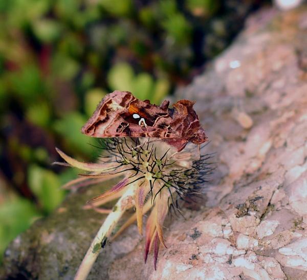 \'Beautiful golden Y moth\'(autographa pulchrina) by Natzdad